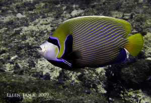 Similans 2009 emperor angelfish