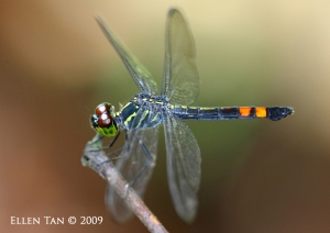 May 23 09 agrionoptera sexlineata