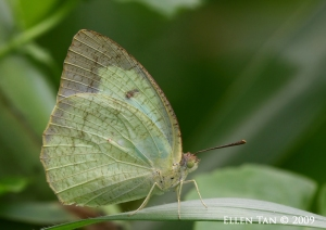 May 23 09 the perfect mottled emigrant
