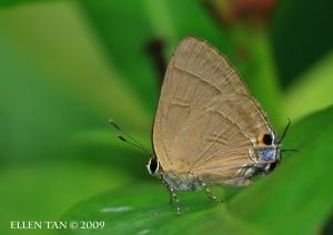 Rapala manea chozeba (slate flash) female  july 11