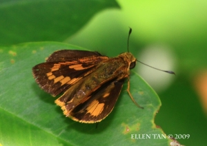 July 13 maybe common dartlet topside