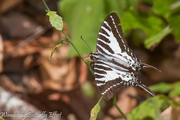 Graphium aristeus (Striped Swordtail)1