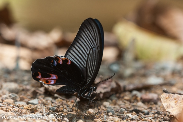 Papilio protenor Cramer (Spangle) underside