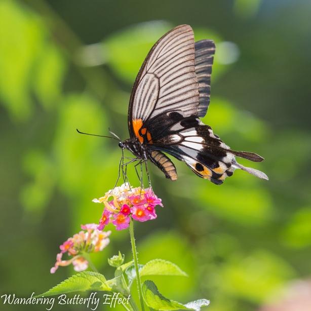 Papiliomemnon heronus (Great Mormon)